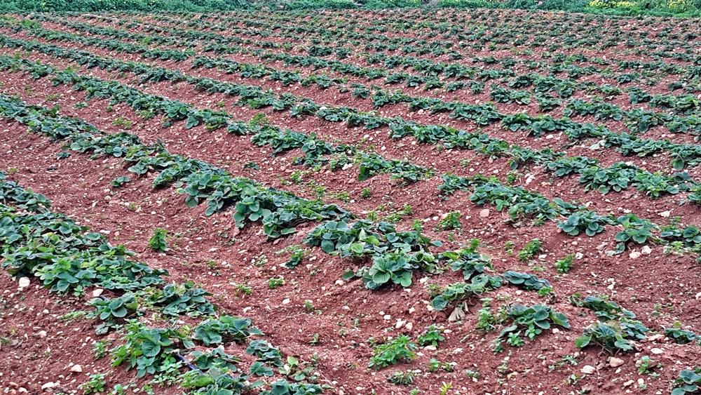 Strawberry fields in Gozo