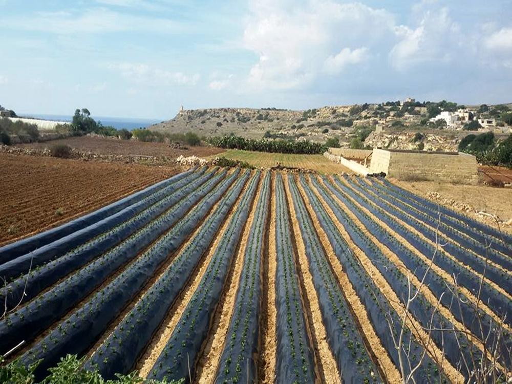 Strawberry fields in Mgarr Malta on October 2, 2017. Courtesy: Festa Frawli facebook Page.