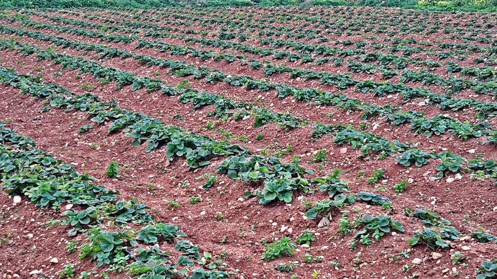 Strawberry fields in Gozo
